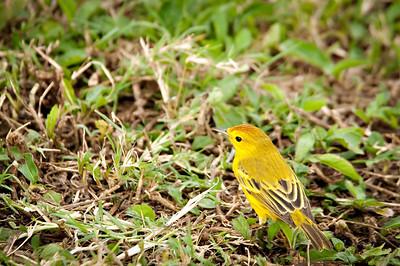 Yellow warbler - Isla Santa Cruz