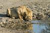 Lion drinking