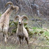 Playfighting Bighorn Males