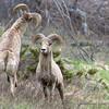 Playfighting Bighorn Males