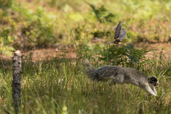 Fox Squirrel and Bluebird
