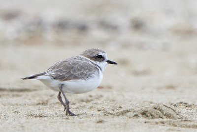 Snowy Plover at Point Reyes