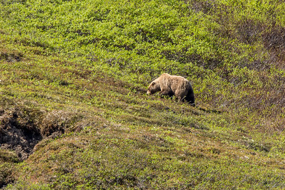 Grizzly Along Dempster