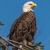 Bald Eagle 5/8/18