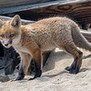 Red Fox Kit 4/27/21