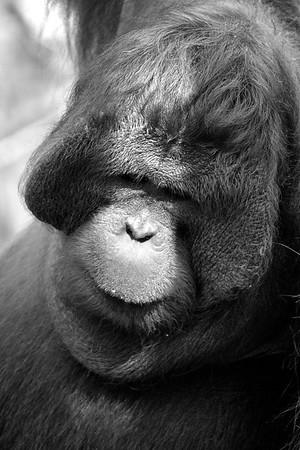 Orangutan Portait