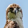 Osprey Close-Up 6/14/17