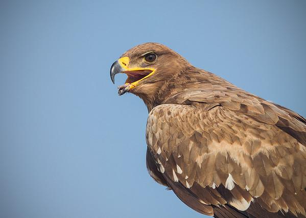 Tawny Eagle