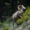 Bighorn Mountain Sheep -Ram