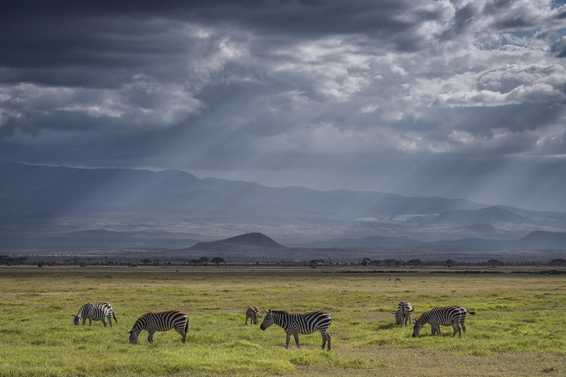 Zebras in Amboseli National Park, Kenya, East Africa