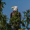 Bald Eagle 7/23/17