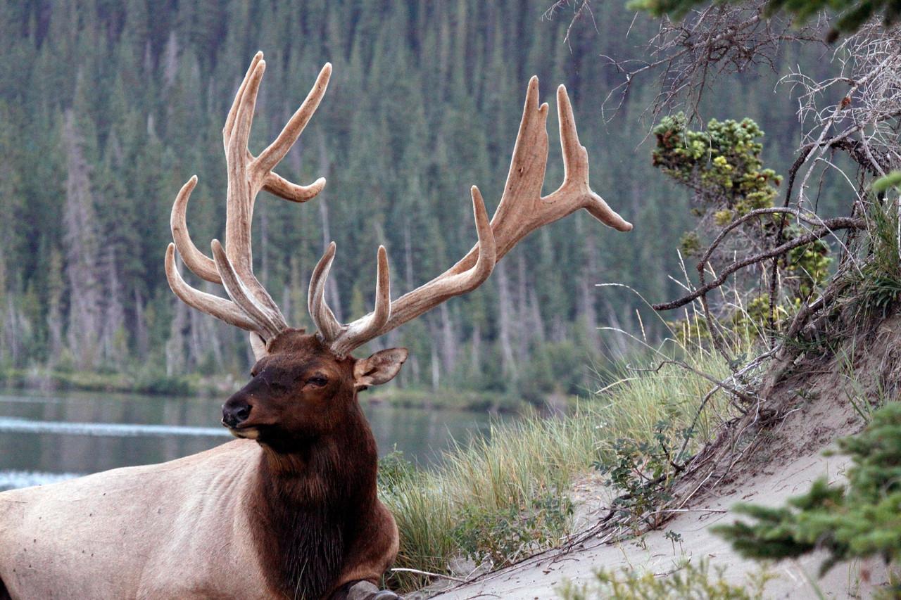 Elk   Bull Elk 16 Point Rack - Jasper National Park
