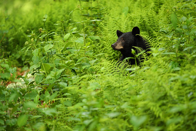 Black Bear in Ferns, Shenandoah National Park