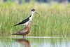 Black-necked Stilt & Hudsonian Godwit