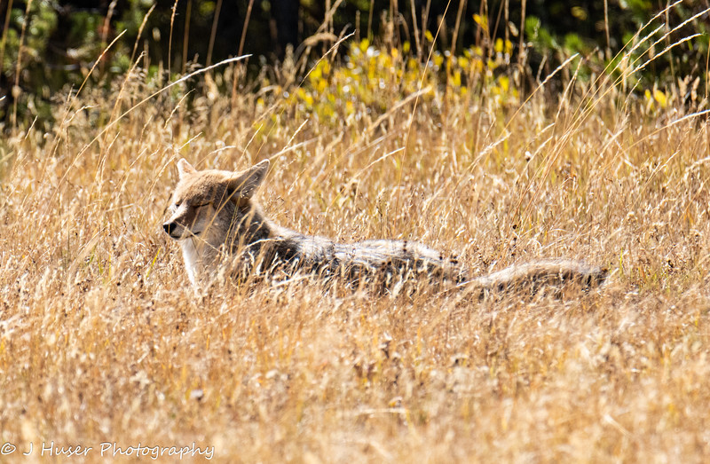 Coyote napping in the sun