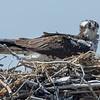 An Osprey in Nest 5/16/16