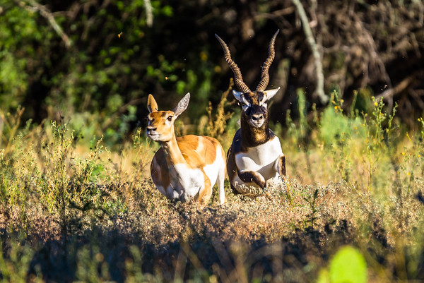 Blackbuck Chase