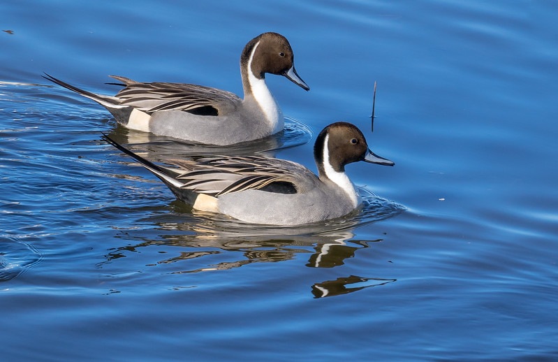 Northern Pintail Ducks 589