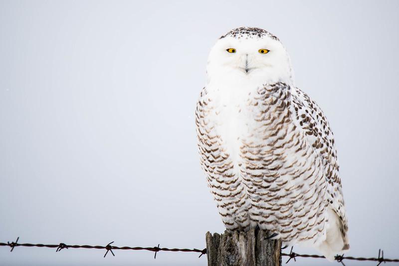 Snowy Owl - Harfang