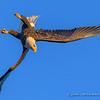 Eagle Enters Steep Inverted Dive