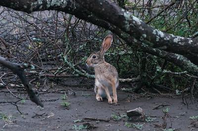 Hare, African Savanna