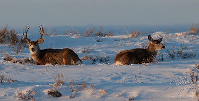 Mule Deer relaxing in the evening light.