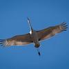 Sandhill Crane Flyover 6394