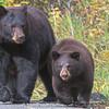 Black Bear Sow and Cub