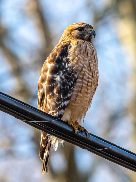 Red-Shouldered Hawk 3/5/20