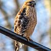 Red-Shouldered Hawk 3/5/20