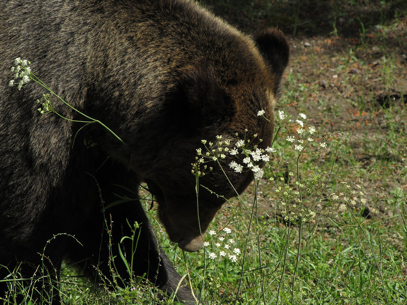 Grizzly Picking Flowers, Wyoming