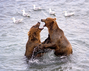 Brown Bear Debate