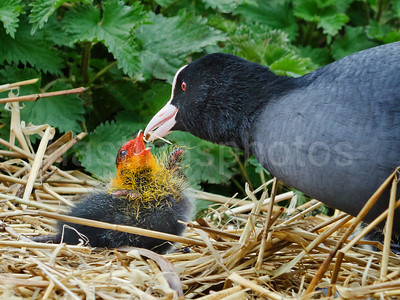 Coot chick feeding