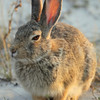 Jackrabbit, Badlands National Park, SD