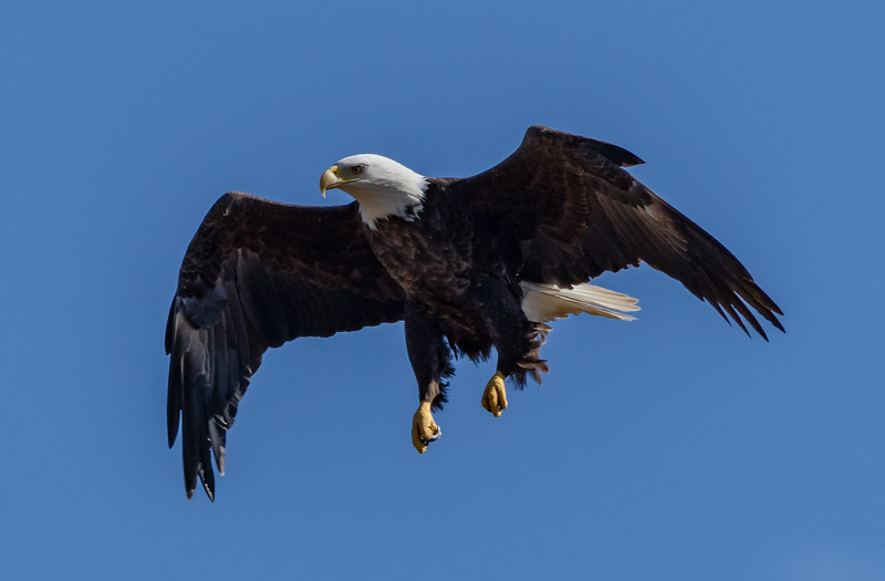 Bald Eagle Coming In For Landing 2/25/19