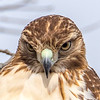 A Close-Up of a Red-Tailed Hawk 1/12/17