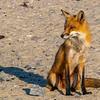 Mama Red Fox 5/18/21