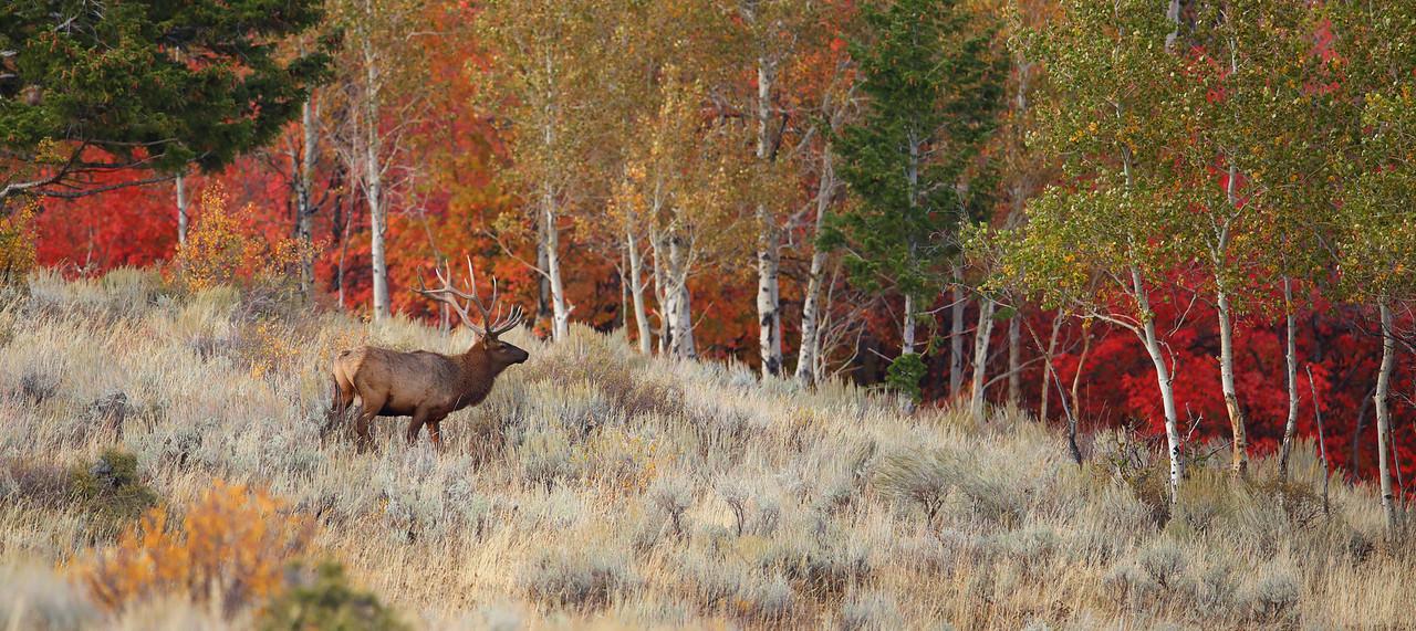 Large Bull Elk in Fall Setting