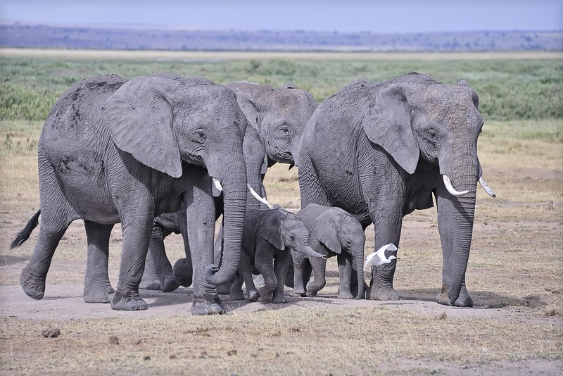 Elephants on the move in Amboseli National Park, Kenya, East Africa
