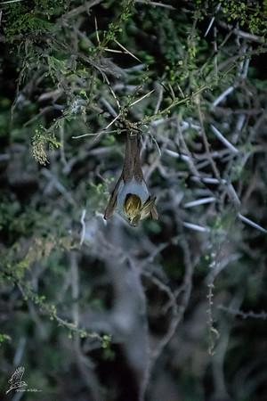 Bat, Yellow-winged