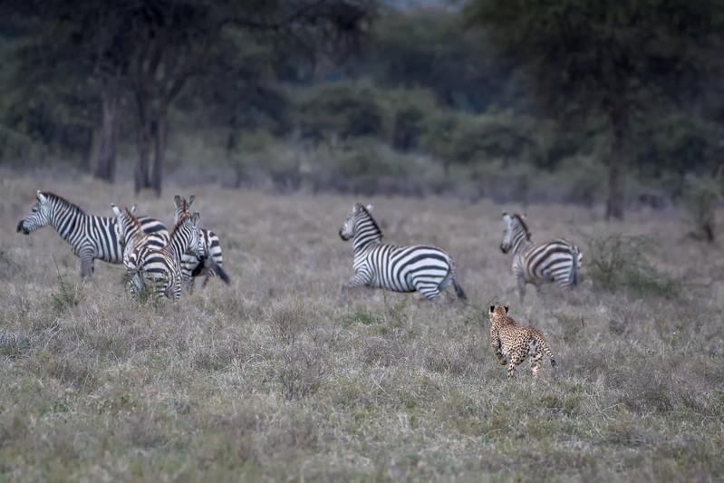 Cheetah chasing zebras in Ndutu, Serengeti, Tanzania, East Africa
