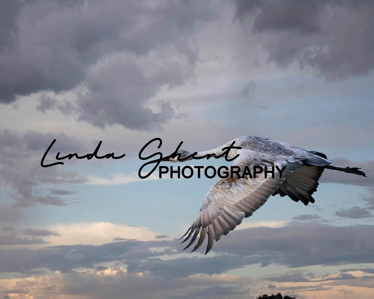 Bosque Del Apache Crane