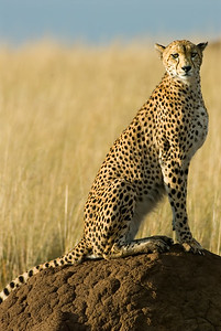 Portrait of a Cheetah on a termite mound.