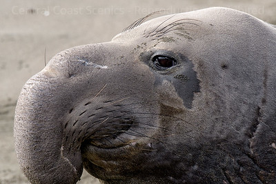 Elephant Seal Profile
