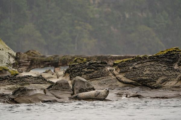 Harbor Seal in the rain, San Juan Islands