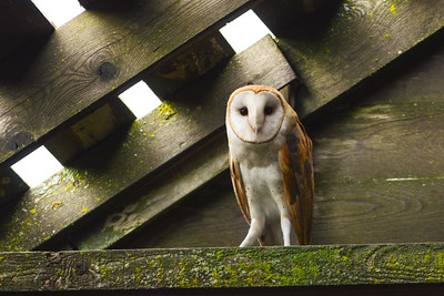 Barn Owl Pose