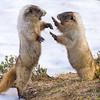 Hoary Marmots, Wrestling Behavior