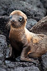 Baby sea lion- Isla Santa Maria (Floreana)