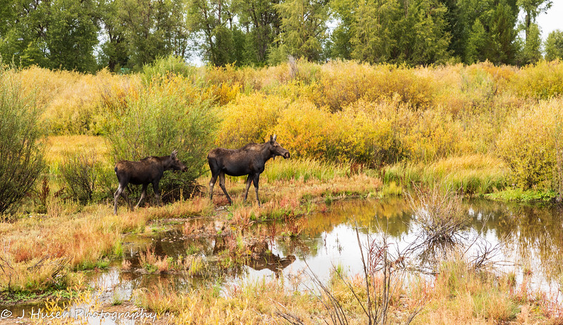 Reflections of moose