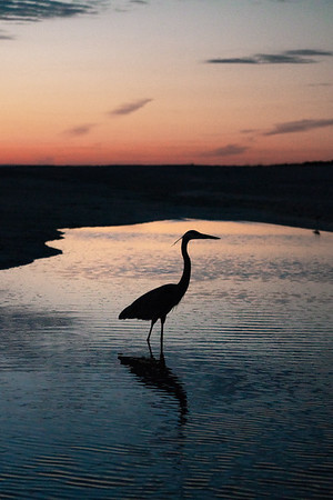 Silhouette of a heron at sunset, Sanibel, Florida.